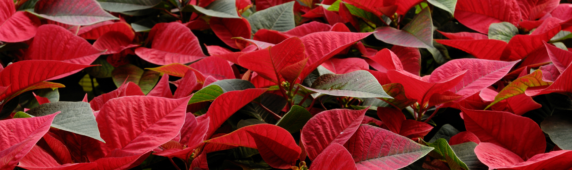 Poinsettia Plant Care Tips Town Country Nurseries